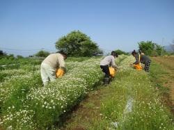 新茶カモミール収穫風景