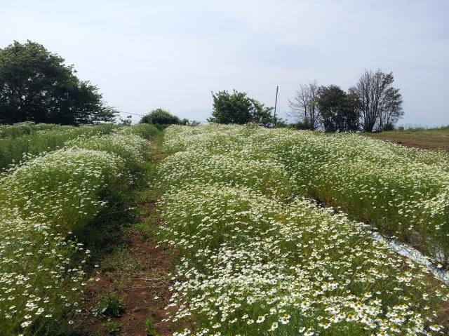 カモミール畑2016